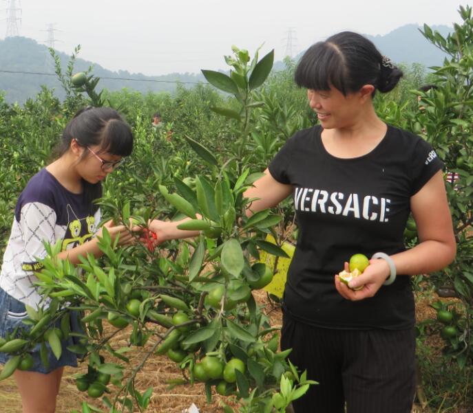 青年卡会员采摘大寨地蜜桔活动