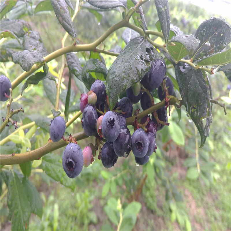 青年卡会员采摘假日蓝莓活动