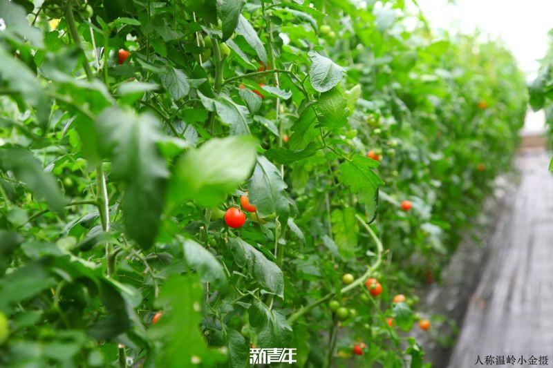 新青年会员采摘小番茄活动