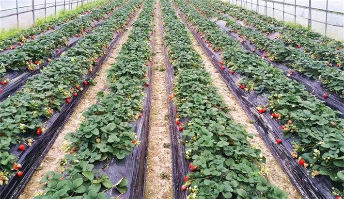 老后生草莓采摘活动